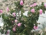 Эфирные масла ромашки аптечной и розы дамасской - фото 4