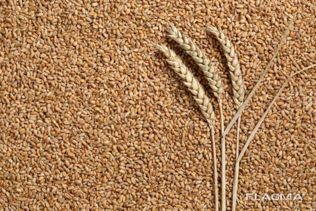 Food wheat with a protein content of 12% -14%