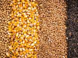 Зерно - пшеница, кукуруза, ячмень, просо, овес, рожь | Grain - фото 1